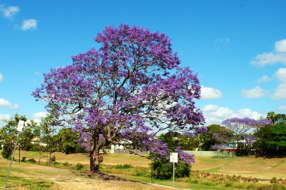 jacaranda-004